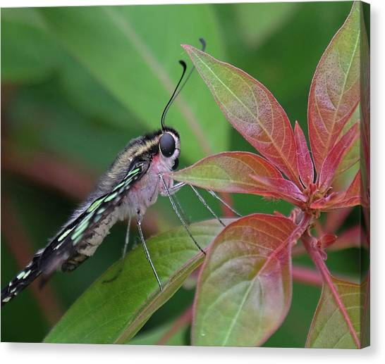 Tailed Jay Butterfly Macro Shot Canvas Print