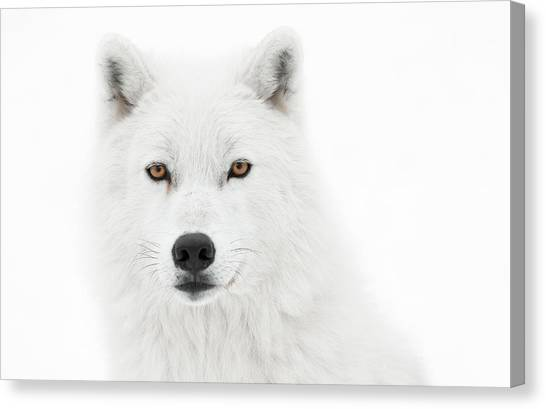 Arctic Wolf Canvas Print - Take The Pose by PNDT Photo