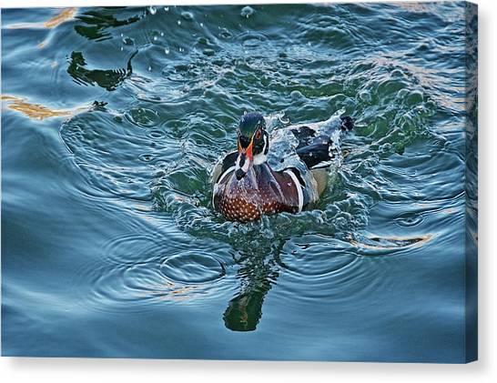 Taking A Dip, Wood Duck Canvas Print