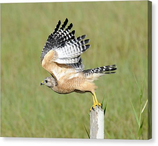 Taking Flight Canvas Print by Keith Lovejoy