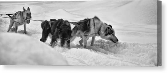Huskies Canvas Print - Taking The Strain by Nigel Jones