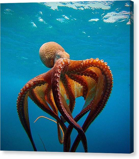 Octopus Canvas Print - Tako  by Everett Dahlmeier