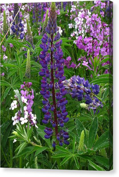 Tall Purple Luppin Canvas Print by Melissa Parks