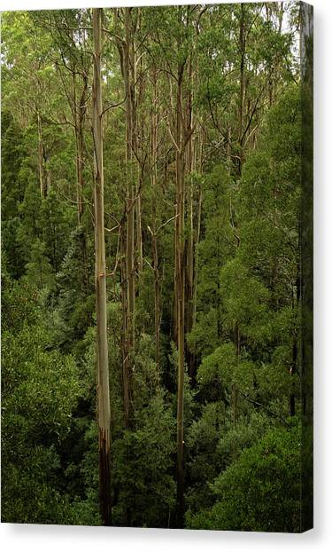 Great Otway National Park Canvas Print - Tall Trees by Catherine Reading