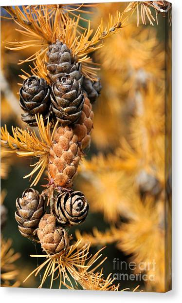 Tamarack Larch Tree In The Fall  Canvas Print