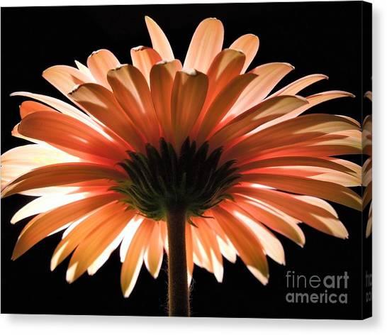 Tangerine Gerber Daisy Canvas Print