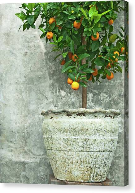 Orchard Canvas Print - Tangerine Tree In Old Clay Pot by GoodMood Art