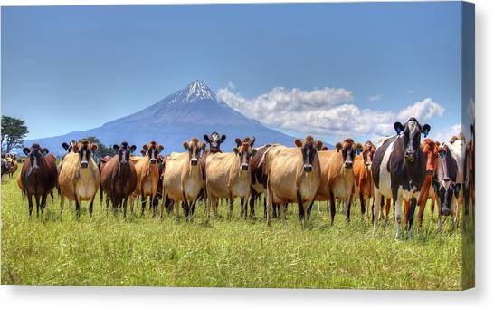 Taranaki Cows Canvas Print
