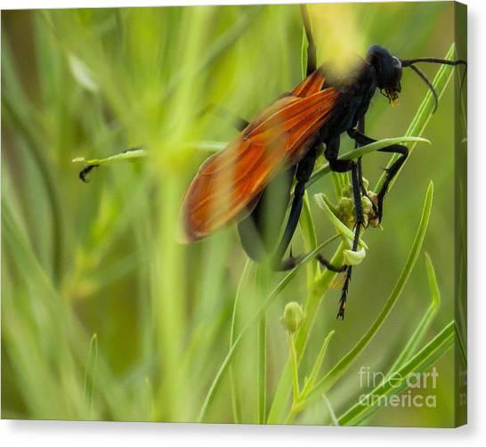 Tarantula Hawk 1 Canvas Print