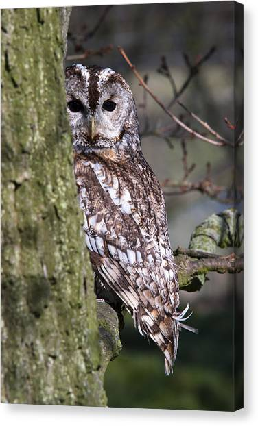 Tawny Owl In A Woodland Canvas Print