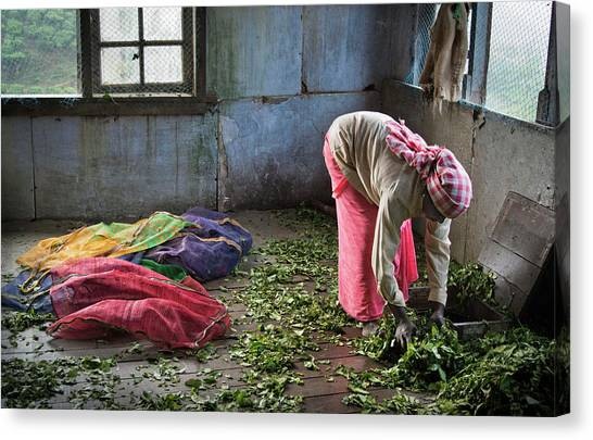 Tea Leaves Canvas Print - Tea Factory by Marion Galt