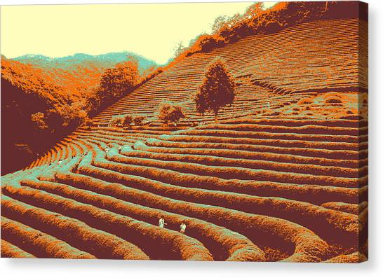 Tea Field Canvas Print