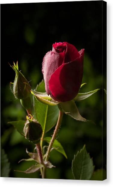 Tea Rose Bud Canvas Print
