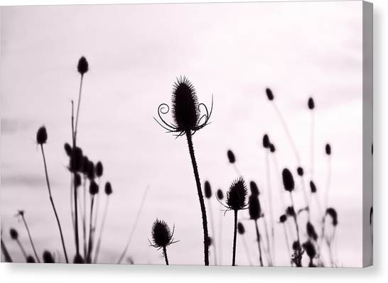 Teasels In A French Field  II Canvas Print by Gareth Davies