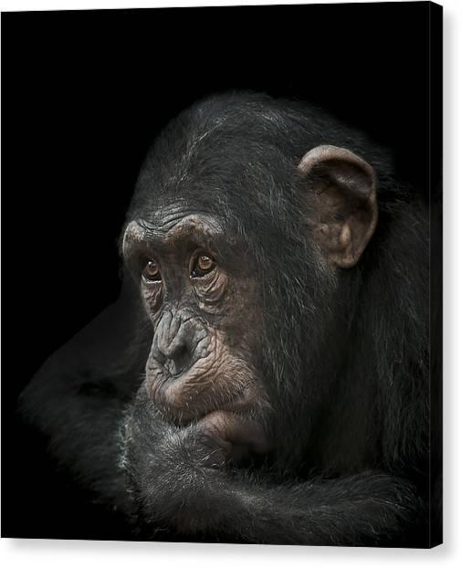 Chimpanzee Canvas Print - Tedium by Paul Neville