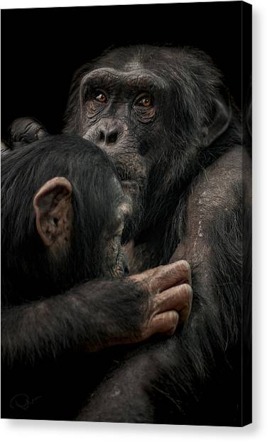 Primates Canvas Print - Tenderness by Paul Neville