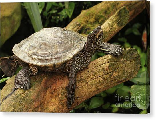 Tess The Map Turtle #3 Canvas Print