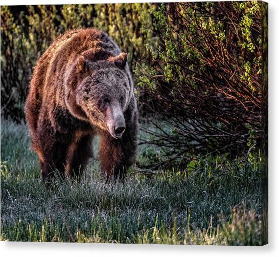 Teton Grizzly Canvas Print