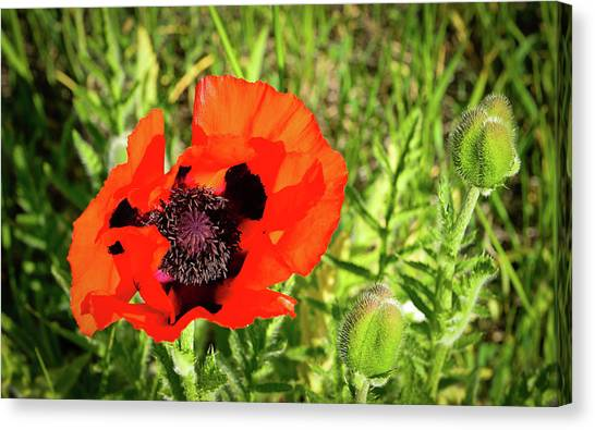 Canvas Print featuring the photograph Teton Poppy by Greg Norrell