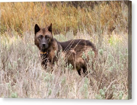Teton Wolf Canvas Print