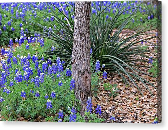 Texas Bluebonnets Canvas Print