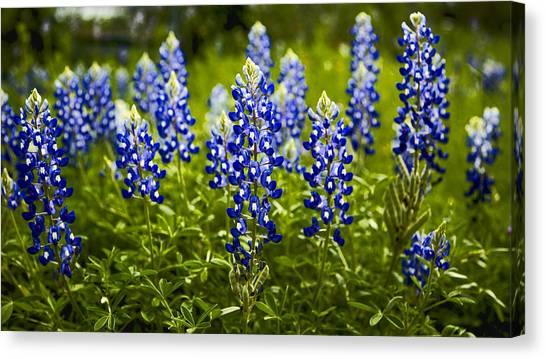 Tundras Canvas Print - Texas Bluebonnets by Stephen Stookey