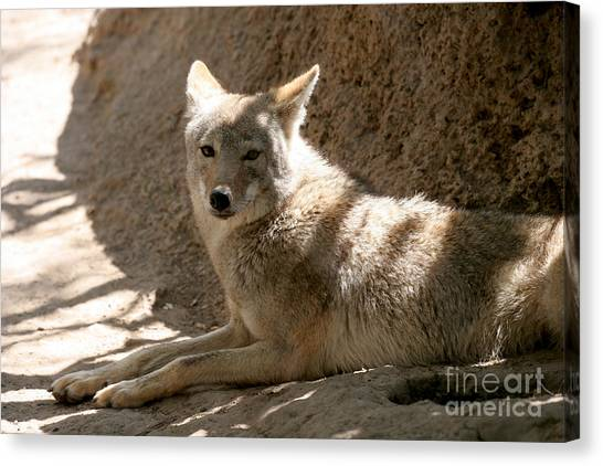Canvas Print - Texas Coyote by Jeannie Burleson