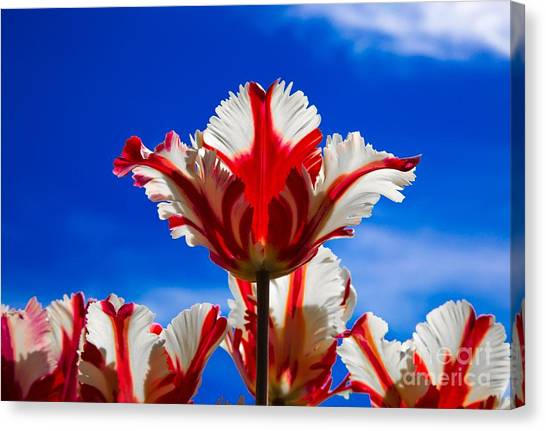 Texas Flame Parrot Tulip Canvas Print