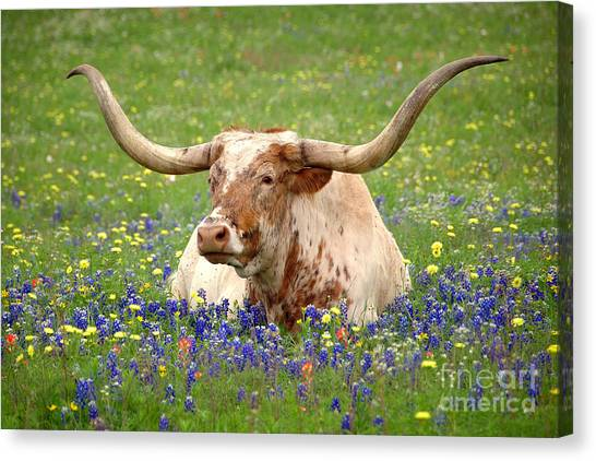 Bonnet Canvas Print - Texas Longhorn In Bluebonnets by Jon Holiday