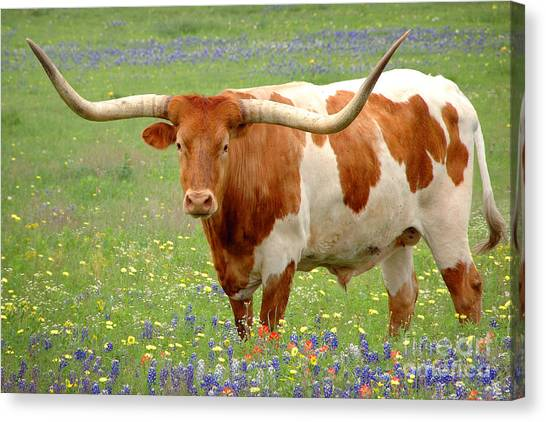 Longhorn Canvas Print - Texas Longhorn Standing In Bluebonnets by Jon Holiday