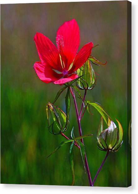 Texas Star Hibiscus Canvas Print