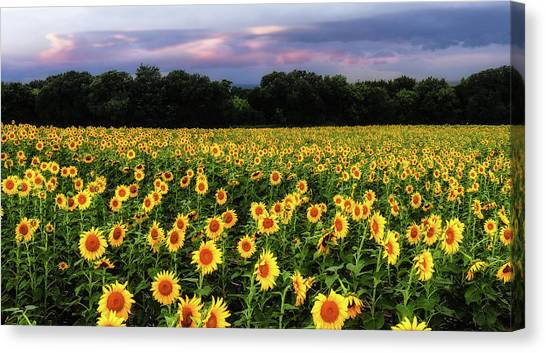 Canvas Print featuring the photograph Texas Sunflowers by Robert Bellomy