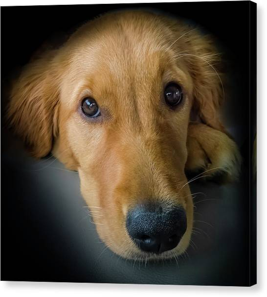 Golden Retrievers Canvas Print - Thanks For Picking Me by Karen Wiles