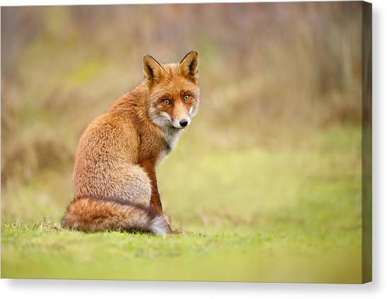 Foxes Canvas Print - That Look - Red Fox Male by Roeselien Raimond