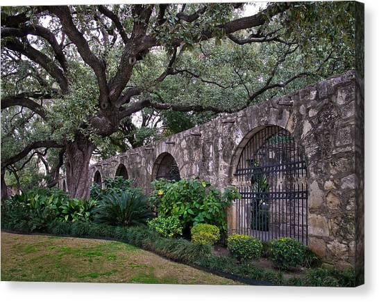 The Alamo Oak Canvas Print