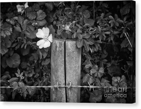 The Allotment Project - Dog Rose Canvas Print