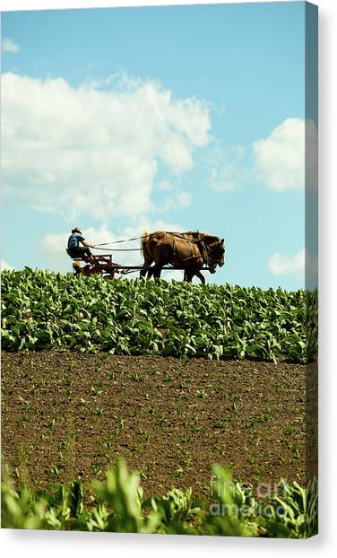The Amish Farmer With Horses In Tobacco Field Canvas Print