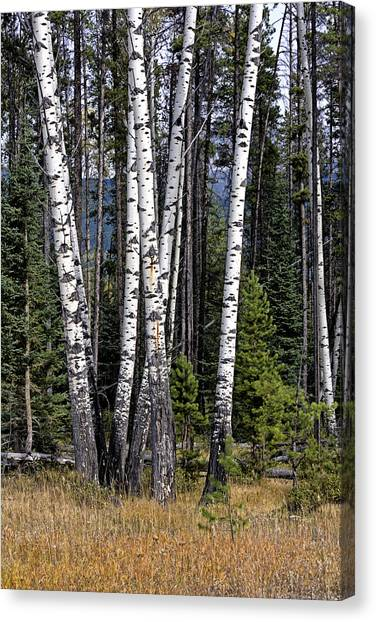The Aspens Canvas Print
