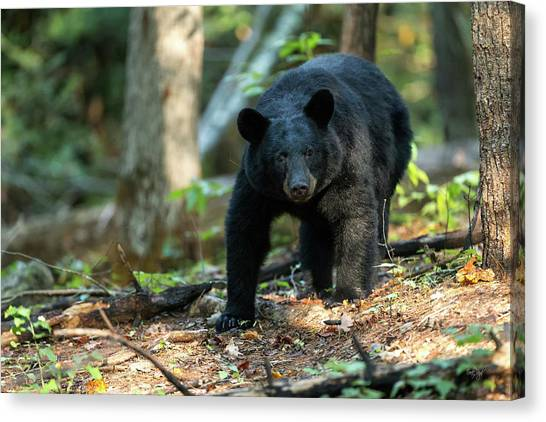 Black Bears Canvas Print - The Bear by Everet Regal
