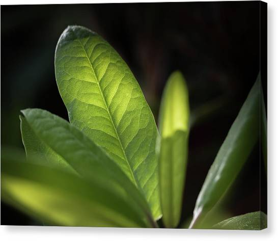 The Beauty Of A Leaf - Canvas Print