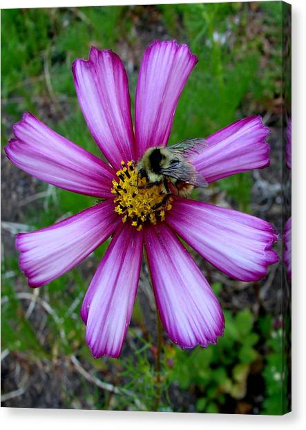 The Bee And A Pink Cosmos Canvas Print by Ed Mosier