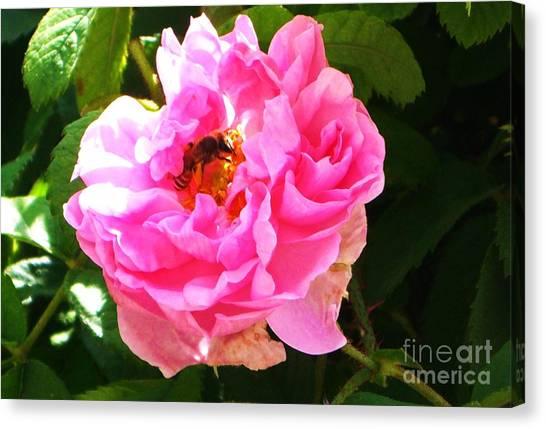 The Bee In The Rose Canvas Print by Sunaina Serna Ahluwalia