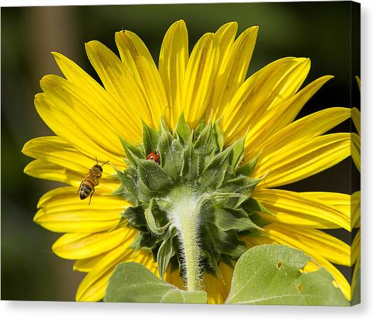 The Bee Lady Bug And Sunflower Canvas Print