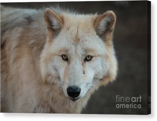 The Big Beautiful Wolf Canvas Print