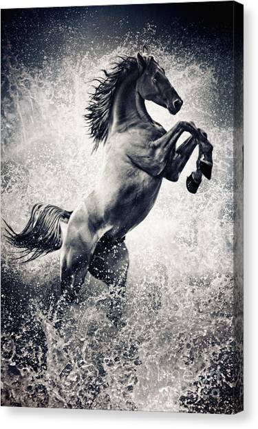 The Black Stallion Arabian Horse Reared Up Canvas Print
