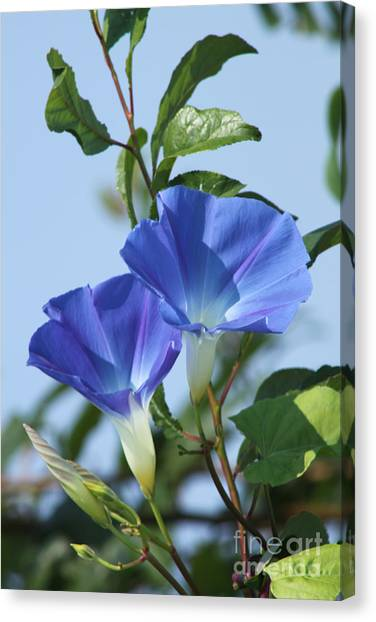 The Blue Morning Glory Canvas Print