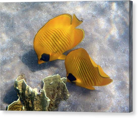 The Bluecheeked Butterflyfish Canvas Print
