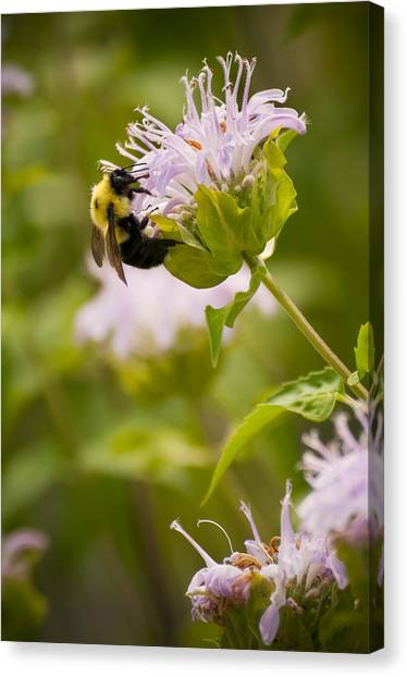 The Bumble Bee Canvas Print by Chad Davis