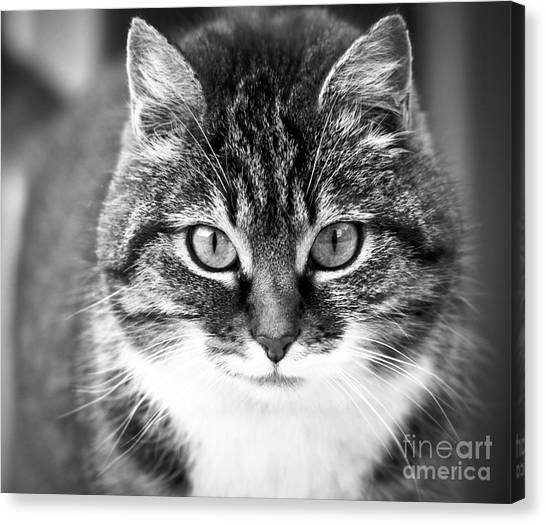 The Cat Stare Down Canvas Print