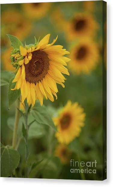 The Close Up Of Sunflowers Canvas Print